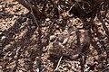 Chordeiles minor - Flickr - aspidoscelis.jpg