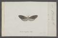 Choreutis - Print - Iconographia Zoologica - Special Collections University of Amsterdam - UBAINV0274 058 07 0002.tif