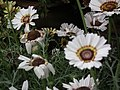 Chrysanthemum from Lalbagh flower show Aug 2013 8319.JPG
