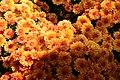 Chrysanthemum x grandiflorum Spicy Cheryl 3zz.jpg