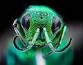 Chrysidid wasp, m, face, Millard co., Utah 2020-08-17-14.06.19 ZS PMax UDR (51141341043).jpg