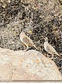 Chukar Partridge (Alectoris chukar) (37736376075).jpg