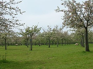 Cider apple orchards at Over Stratton. Somerse...
