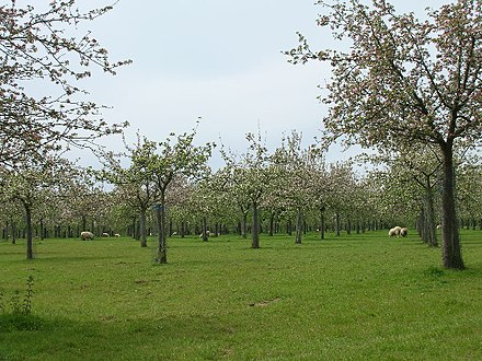 A traditional cider apple orchard at Over Stratton, with sheep grazing Cider apple orchards at Over Stratton - geograph.org.uk - 10970.jpg