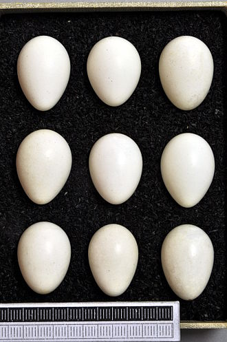 White-throated dipper - Eggs, Collection Museum Wiesbaden, Germany