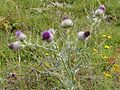 Cirsium vulgare (Spear Thistle) - Flickr - gailhampshire.jpg