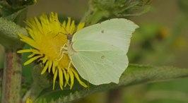 Bestand:Citroenvlinder foerageert in bloemen van Griekse alant-5231755.webm