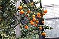 Citrus aurantium var. myrtifolia Chinotto 5zz.jpg