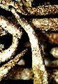 Cladonia decorticata-5.jpg