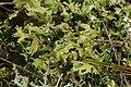 Cladonia foliacea (38470426574).jpg