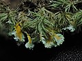 Cladonia hypoxantha Tuck 986025.jpg