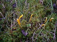 Clavulinopsis helvola.jpg