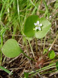 Claytonia perfoliata 001