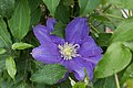 Clematis 'H. F. Young' IMG 0161.jpg