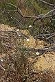 Cliff Aster - Malacothrix saxatilis (43659567302).jpg