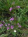 Clinopodium vulgare01.jpg