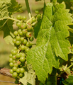 Close up Seyval blanc grape and leaf.png