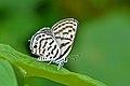 Close wing leaf-top basking of Tarucus venosus Moore, 1882 – Veined Pierrot or Himalayan Pierrot WLB DSC 1501.jpg