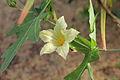 Coccinia sessilifolia-IMG 5463.jpg