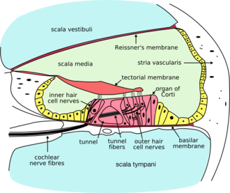 Perilymph - Cross-section of cochlea. Perilymph is located in the scala vestibuli and scala tympani - the aqua regions at the top and bottom of the diagram.