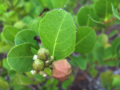Coco-Plum (2927347215).png