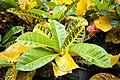 Codiaeum variegatum in Miyako-jima, Okinawa Prefecture DSC 7928.jpg