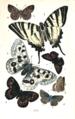 Colemans British Butterflies Plate XVI.png