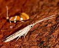 Coleophora borea (1 of 1).jpg