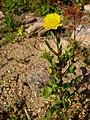 Coleostephus myconis.jpg
