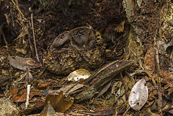 Collared Nightjar - Andasibè - Madagascar MG 0708 (15101976749).jpg