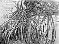 Collectie Nationaal Museum van Wereldculturen TM-10021258 Mangrove, Simson Bay Lagune Simsonbaai fotograaf niet bekend.jpg