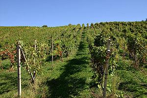 Wine festival - Fields of grape vines