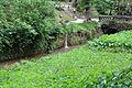 Colocasia esculenta-IMG 8687.JPG