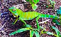 Colour changing blue ,green, yellow, brown colour camouflage Chameleon - Srilanka.jpg