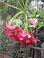 Combretum indicum flowers at Periya 2018 (1).jpg