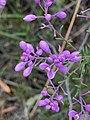 Comesperma ericinum flowers 02.jpg