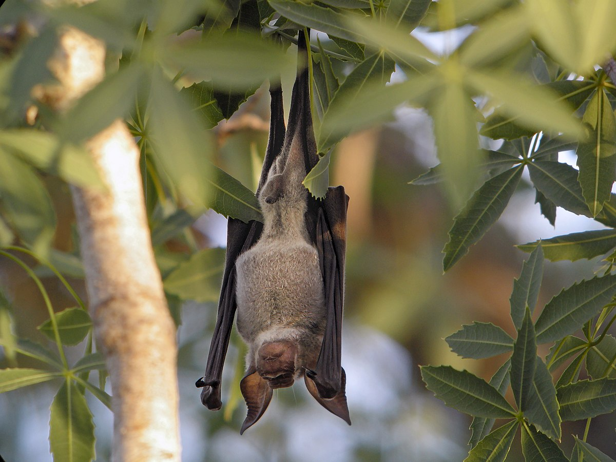 Hipposideros commersoni - Wikipedia