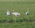 Common Crane (Grus grus) (8520156839).jpg