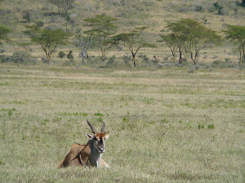 File:Common Eland.jpg