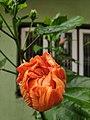 Common Hibiscus Bud.jpg