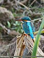 Common Kingfisher (Alcedo atthis) (34506627821).jpg
