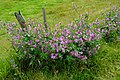 Common Mallow (Malva sylvestris), Goxhill Haven - geograph.org.uk - 890483.jpg