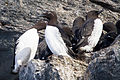 Common Murre (Uria aalge) (13667782473).jpg