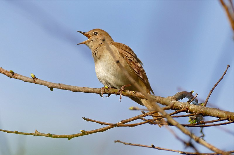 File:Common Nightingale (Luscinia megarhynchos) (25936816473).jpg