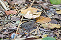 Common ground-dove (24913198901).jpg