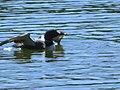 Common loon (Gavia immer) on Meadow Lake (8201473748).jpg