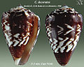 Conus decoratus 1.jpg
