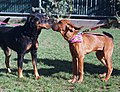 Cooper the bloodhound meets and greets friend.jpg