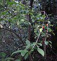Coprosma foetidissima 11.JPG