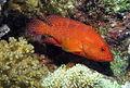 Coral Hind,Cephalopholis miniata at Abu Dabab Reefs, Red Sea, Egypt -SCUBA (6198106017).jpg
